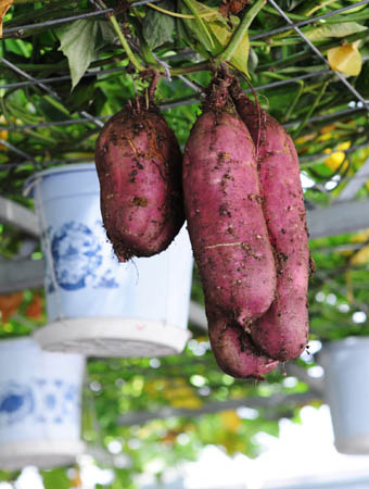 growing yams